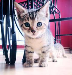 Ocecat Kitten by JaymeeLS