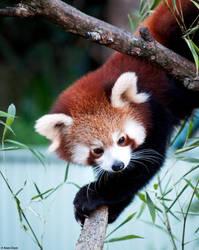 Red Panda by Callipyginous