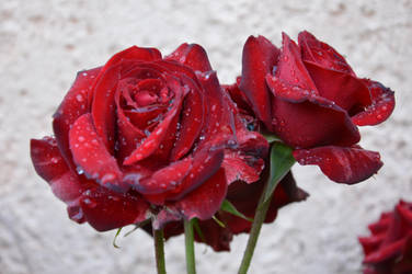 Red roses by A1Z2E3R
