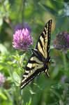 Papilio Machaon of Oregon by A1Z2E3R