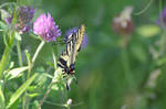 Swallowtail for birthday of Momotte by A1Z2E3R