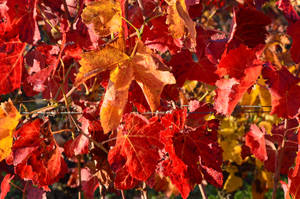 Wet red and yellow leaves of vineyard by A1Z2E3R