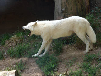 Wolf white in profile opening its mouth by A1Z2E3R