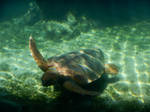 Turtle caretta swimming in light and shadows by A1Z2E3R