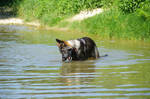 Young German shepherd observing alluviums of brook by A1Z2E3R