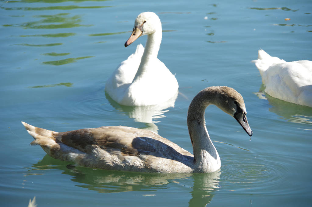 Young grey swan and white swan by A1Z2E3R