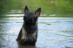 Wet young dark German shepherd dog portrait by A1Z2E3R