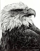 Eagle by freakingfabulous