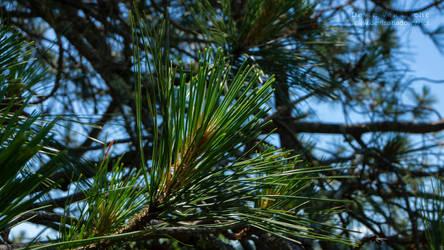 Pine by DevinShadowV