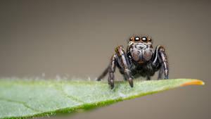 The Spider King by IceManDBB