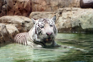 White Tiger - Stock by Sassy-Stock