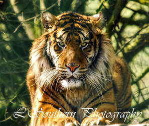 .:Sumatran Tiger:. by LSouthern