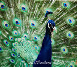 .:Indian Male Peafowl I:. by LSouthern