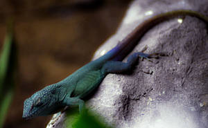 .:Blue Anole:. by LSouthern