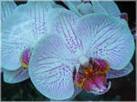 Orchidea by VasiDgallery