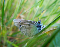 Adonis blue butterfly by VDragosPhotography