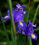 Dark purple by VDragosPhotography