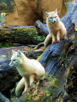 Arctic Foxes by Maquenda