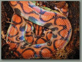 BrazillianRainbowBoa-poisonous by petsrus