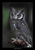 Owl by Velvet--Glove