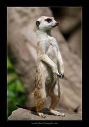 Meerkat by Velvet--Glove