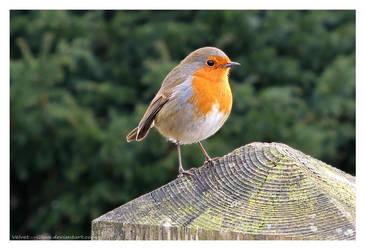 Winter Robin by Velvet--Glove