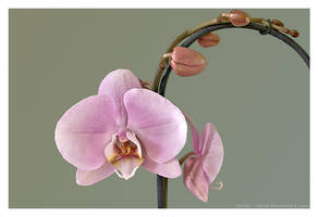 Orchid in Bloom by Velvet--Glove