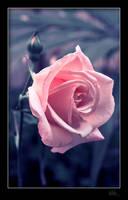 rose by klefer