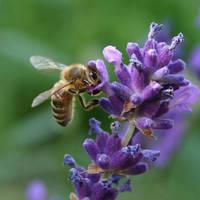 Lavender Bee by wiebkerost