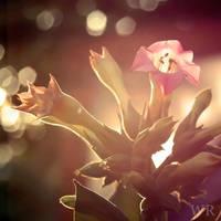 Tobacco Flowers Evening Sun by wiebkerost