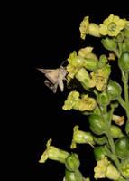 Moth on Aztec Tobacco by wiebkerost