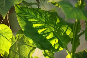 Tobacco Leaf by wiebkerost