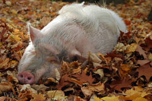 Sir Edward taking a nap by wiebkerost