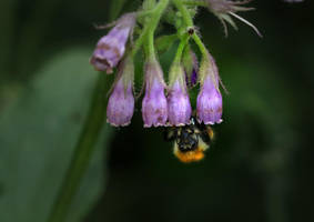 Bumblebee on Comfrey Flower by wiebkerost