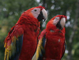 Scarlet Macaws 20D0023994 by Cristian-M
