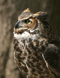 Great Horned Owl 20D0024819 by Cristian-M