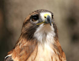 Red-tailed Hawk 20D0024732 by Cristian-M