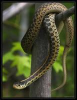 Garter Snake 40D0004453 by Cristian-M