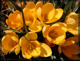 Yellow Crocus 20D0046122 by Cristian-M