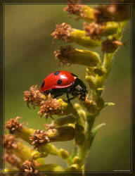 Seven-spot Ladybug 20D0036716 by Cristian-M