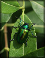 Dogbane Beetle 40D0013573 by Cristian-M