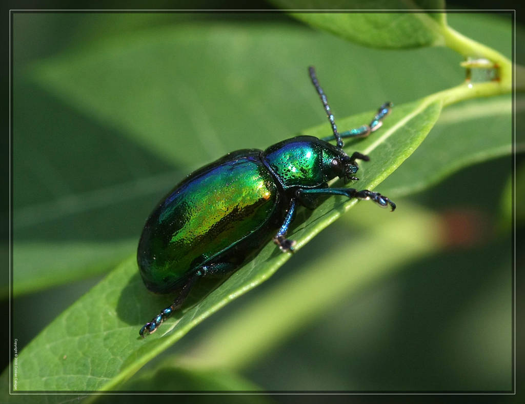 Dogbane Beetle 40D0013609 by Cristian-M