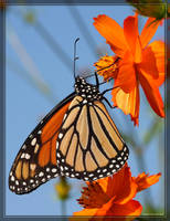 Monarch 40D0024081 by Cristian-M