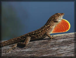 Brown Anole 40D0000890 by Cristian-M