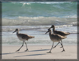 Willets 40D0001359 by Cristian-M