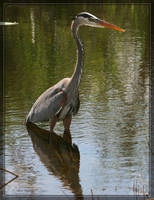 Great Blue Heron 20D0048535 by Cristian-M