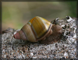 Florida Tree Snail 40D0001118 by Cristian-M
