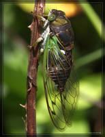 Annual Cicada 40D0022919 by Cristian-M