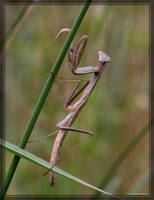 Mantis 40D0012531 by Cristian-M