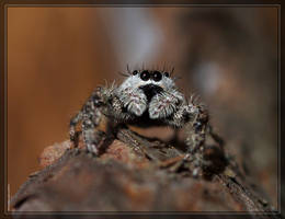 Tan Jumping Spider 40D0031558 by Cristian-M